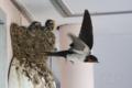 [野鳥][飛翔]巣を離れるツバメ♀