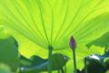 [風景][植物]蓮田の小宇宙
