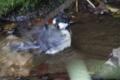 [野鳥]シジュウカラの水浴