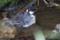 シジュウカラの水浴