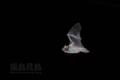 [動物][飛翔]アブラコウモリ