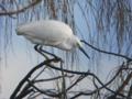 [野鳥]コサギ冬羽