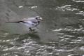 [野鳥]氷上のハクセキレイ♀