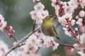 [野鳥][花&メジロ]梅メジロ