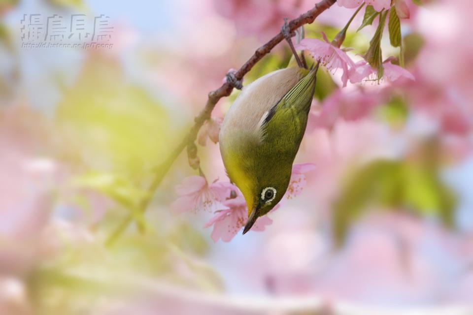 桜花に酔うメジロ