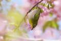 [野鳥][花&メジロ]桜花に酔うメジロ