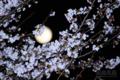 [風景][月景色][桜]月望桜