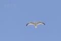 [野鳥][飛翔]セグロカモメ