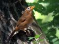 [野鳥]侵入者の肖像(ガビチョウ)
