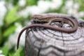 [動物]ニホンカナヘビ