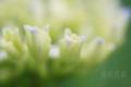 [植物]アジサイ幼花