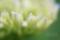 アジサイ幼花