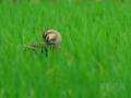 [野鳥]微睡むカルガモ