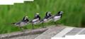 [野鳥]ハクセキレイの行進(4枚合成)