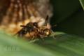 [虫]コアシナガバチ