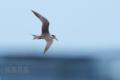 [野鳥][飛翔]オオアジサシ