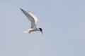 [野鳥][飛翔]コアジサシ