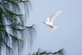 [野鳥][飛翔]シロアジサシ(サイパン)