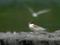 コアジサシ幼羽