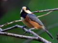 [野鳥]ヤマガラ