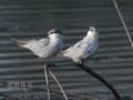 [野鳥]クロハラアジサシ(冬羽)