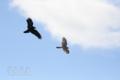 [野鳥][飛翔]ハイタカ&ハシボソガラス