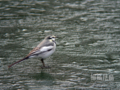 [野鳥]氷上のハクセキレイ