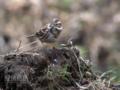 [野鳥]カシラダカ冬羽
