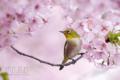 [野鳥][花&メジロ]河津桜とメジロ