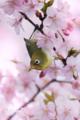 [野鳥][花&メジロ]サクラの花粉にまみれたメジロ