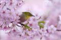 [野鳥][花&メジロ]メジロの春