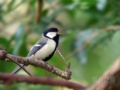 [野鳥]シジュウカラ♂ 春を歌う