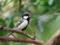 シジュウカラ♂ 春を歌う