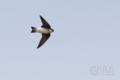 [野鳥][飛翔]イワツバメ