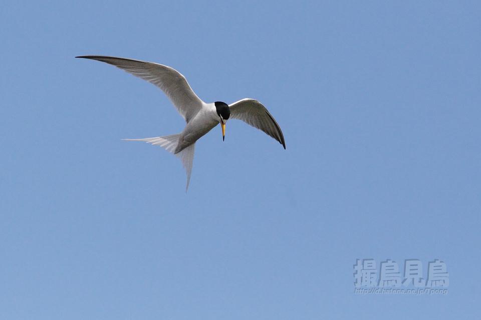 コアジサシ停空飛翔