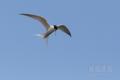 [野鳥][飛翔]コアジサシ停空飛翔