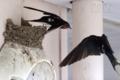 [野鳥][飛翔]ツバメの育児交代