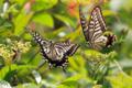 [虫][飛翔]ナミアゲハの求愛ディスプレイ