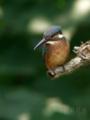[野鳥]カワセミ幼羽