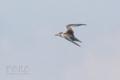 [野鳥][飛翔]コアジサシ幼羽