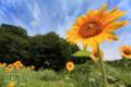 [植物]向日葵