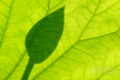 [植物]オオガハス