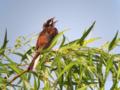 [野鳥]ホオジロ♂ 夏に歌えば