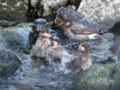 [野鳥]ムクドリの水浴