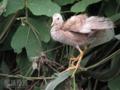 [野鳥]バン(アルビノ第二世代)