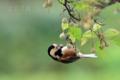 [野鳥]エゴの実とヤマガラ