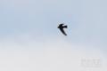 [野鳥][飛翔]ヒメアマツバメ