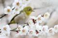 [野鳥][花&メジロ]メジロ