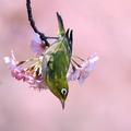 [野鳥]桜とメジロ