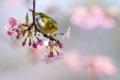 [野鳥][花&メジロ]メジロと河津桜